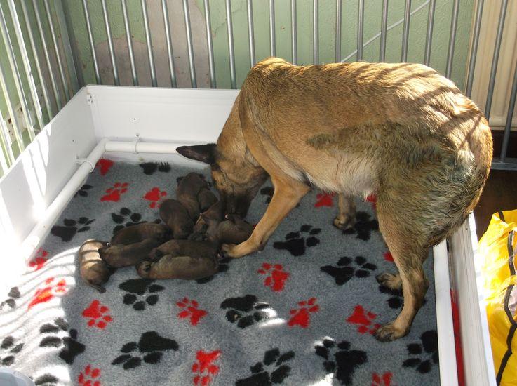 Dog Giving Birth Yellow Sack